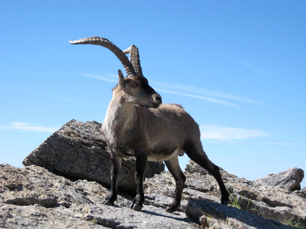 male ibex near Los Barrerones - Gredos Mountains