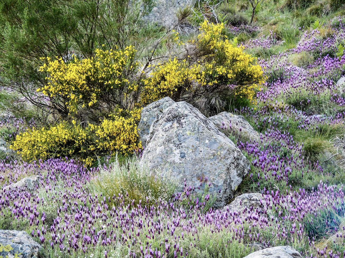 Sierra de Gredos colorful Flora