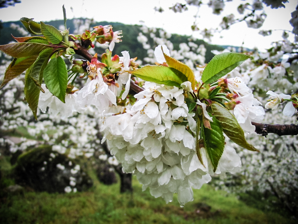 Sierra de Gredos cherry blossom