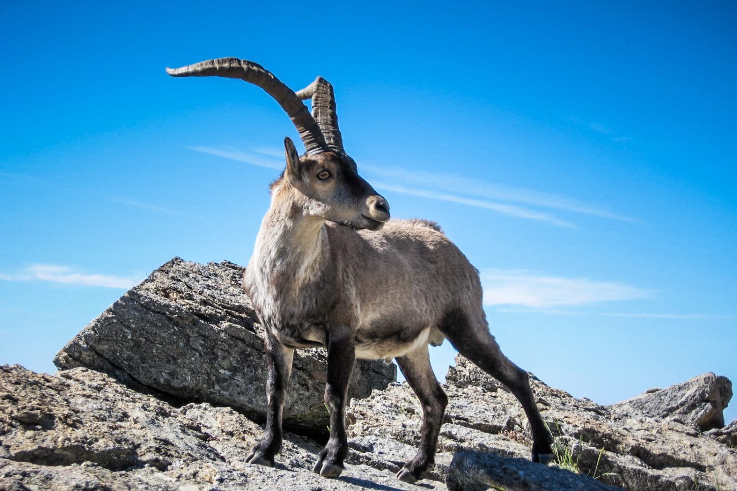 Male Ibex in the Sierra de Gredos