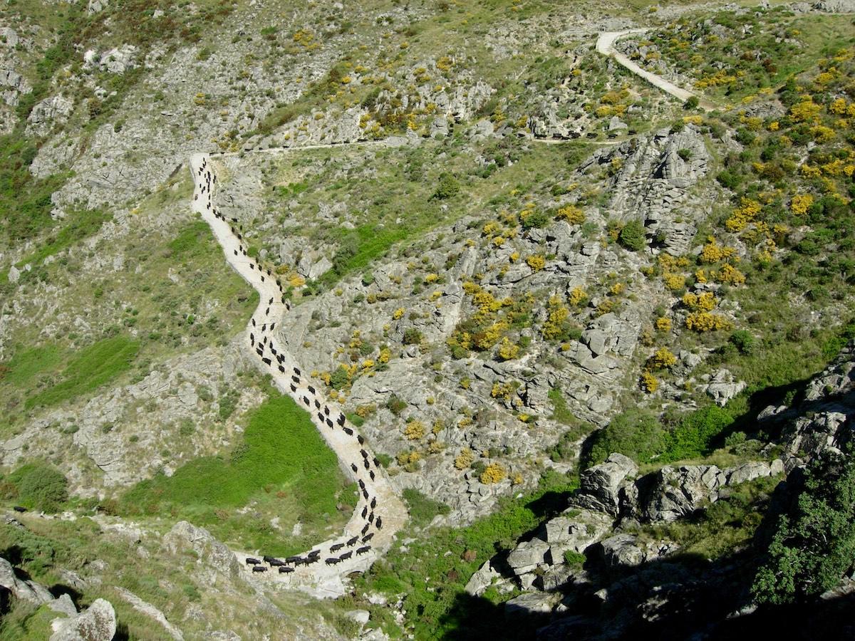 Sierra de Gredos cattle transhumance